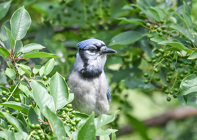 Blue Jay in Cherry Tree - June 22, 2018 This Blue Jay is looking forward to when these  wild black cherries are ripe.