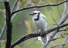 "<div class=""jaDesc""> <h4>Leucistic Lady Blue Jay Front View - May 13, 2016</h4> <p>We are enjoying having a leucistic Blue Jay join our other 19 Blue Jays.  Her white head and back make her stand out from the others.</p> </div>"
