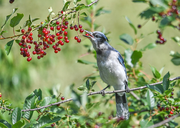 "<div class=""jaDesc""> <h4>Blue Jay Going for Two - July 17, 2016</h4> <p>I was surprised to see this Jay trying to grab a second cherry.</p> </div>"