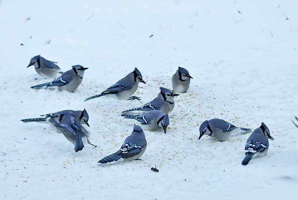 "<div class=""jaDesc""> <h4> Blue Jay Breakfast - January 10, 2015 </h4> <p>Here are 11 of the now 40 Blue Jays that feast at our place all day long.  The quart of un-shelled peanuts that I toss out are gone in less than 5 minutes.  They are now eating the cracked corn and mixed seed I toss out along with the peanuts.</p> </div>"
