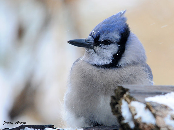 "<div class=""jaDesc""> <h4>Blue Jay - Brrrr It's Cold - December 29, 2009 </h4> <p>  This Blue Jay was braving the high winds and blowing heavy snow.  He had ice crystals on his face and crest feathers, but it did not slow him down on gathering seeds and peanuts.</p> </div>"