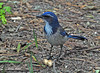 "<div class=""jaDesc""> <h4> Scrub Jay Collecting Peanuts - November 9, 2009 </h4> <p> My grandson Colin had distributed some un-shelled peanuts around my daughter's backyard. This Scrub Jay would happily gather them one at a time and go stash them somewhere else. He would chase the Steller's Jay out of the yard when there were still peanuts on the ground.</p> </div>"