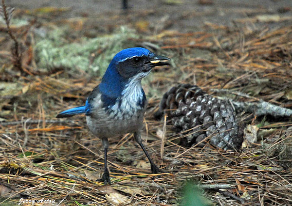 "<div class=""jaDesc""> <h4> Scrub Jay Finds Shelled Peanut - November 5, 2009 </h4> <p>This Scrub Jay managed to find all the peanuts my grandson Colin tossed in among the pine needles in my daughter's backyard in Monterey, CA.</p> </div>"