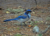 "<div class=""jaDesc""> <h4> Scrub Jay Looking for Seed - November 8, 2009 </h4> <p>Scrub Jays are very common on the west coast. This one quickly figured out that I was visiting my daughter and tossing seed into the backyard with the help of my 3 year old grandson Colin.</p> </div>"