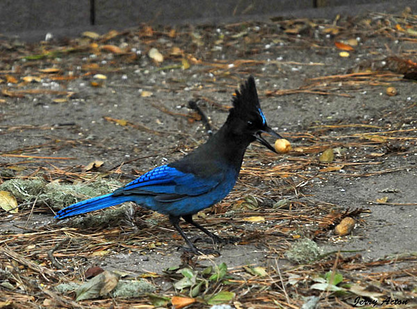 """<div class=""""jaDesc""""> <h4> Steller's Jay with Peanut - November 8, 2009 </h4> <p> I was hoping to get a lot of photos of Steller's Jays while visiting my daughter in Monterey, CA. Unfortunately, the Scrub Jays kept chasing them out.  I did manage to get this Steller's Jay as he came in while the Scrub Jays were not around.</p> </div>"""