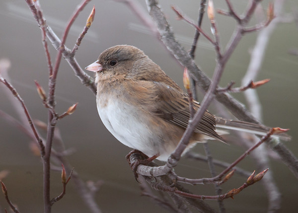 "<div class=""jaDesc""> <h4> Female Junco in Snow Storm - January 18 2012 </h4> <p> There were lots of Juncos in at the feeders during today's snow storm.  They did not seem to be bothered by the blowing snow.</p> </div>"