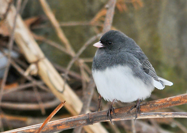 "<div class=""jaDesc""> <h4> Junco in Brush Pile - February 7, 2013 </h4> <p> This male Junco was taking a break from eating sunflower seeds to enjoy the morning sunshine.</p> </div>"