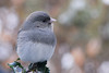 """<div class=""""jaDesc""""> <h4> 1st Year Male Junco Posing - January 20 2012 </h4> <p> This 1st year male Junco was very cooperative, letting me get a closeup shot while he waited his turn at the feeder tray.</p> </div>"""