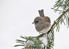 "<div class=""jaDesc""> <h4>Female Junco on Red Pine Branch - December 9, 2016</h4> <p>A brownish-gray female Junco on same perch.</p> </div>"