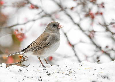 Junco - Eating Millet Seeds - January 18, 2018
