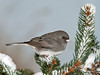 "<div class=""jaDesc""> <h4>Junco on Snowy Spruce Tree - January 14 2011 </h4> <p> We are up to about 30 Junco regulars now. With the recent snow, the number could increase even further. This male stopped on a snowy evergreen on his way to the feeder area.</p> </div>"