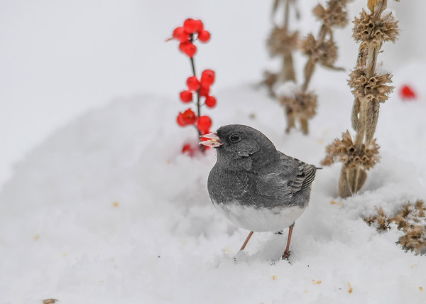 "<div class=""jaDesc""> <h4>Junco in Snow - December 9, 2016</h4> <p>A dark gray male Junco with millet seed.</p> </div>"
