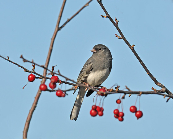 "<div class=""jaDesc""> <h4>Male Junco Considering Crabapples - November 2 2010 </h4> <p> Yet another species that likes the crabapples this time of year. This male Dark-eyed Junco was perched among a bunch of them.</p> </div>"