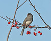 """<div class=""""jaDesc""""> <h4>Male Junco Considering Crabapples - November 2 2010 </h4> <p> Yet another species that likes the crabapples this time of year. This male Dark-eyed Junco was perched among a bunch of them.</p> </div>"""
