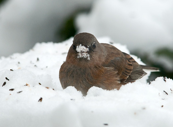 "<div class=""jaDesc""> <h4> Junco with Snowy Beak - February 11, 2011 - Video Attached </h4> <p>The Juncos like to find white millet seeds that I toss into the snow. With the warm spell the snow is wet and sticky, so this female Junco got quite a snowy beak in the process.</p> </div> </br> <center> <a href=""http://www.youtube.com/watch?v=I6-ZRvT600Y"" class=""lightbox""><img src=""http://d577165.u292.s-gohost.net/images/stories/video_thumb.jpg"" alt=""""/></a> </center>"