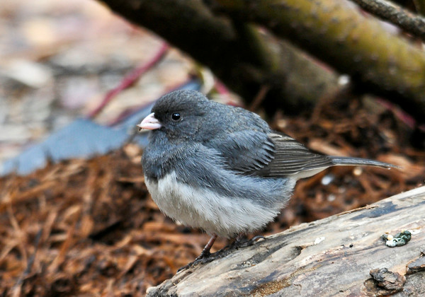 """<div class=""""jaDesc""""> <h4> Junco Perched on Log - April 15, 2014 </h4> <p> This Junco was exploring under our red-twig dogwood bush looking for white millet seed.</p> </div>"""