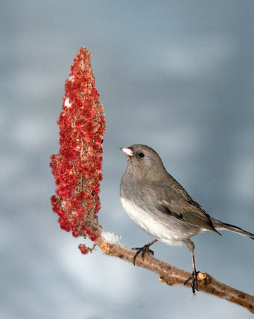 "<div class=""jaDesc""> <h4>Junco Eating Sumac - January 15 2011 </h4> <p>A good source of protein for the birds on cold winter days is sumac. This Junco was pecking at a sumac seed head.</p> </div>"