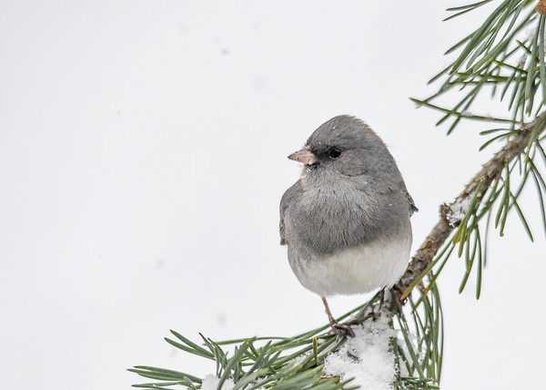 "<div class=""jaDesc""> <h4>Junco on Red Pine Branch - December 9, 2016</h4> <p>A light gray Junco posing nicely.</p> </div>"