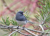 "<div class=""jaDesc""> <h4>Junco on Pine Branch - April 14, 2018</h4> <p>Most of our Juncos have headed north, but we always have several pair that stay year round.  Our blue spruce grove makes them think they are north; they nest there.</p> </div>"