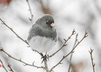 Junco - Snowflake Eyebrow - January 18, 2018 We have 60 Juncos hanging around all day long.  This one had some snow flakes on his face.