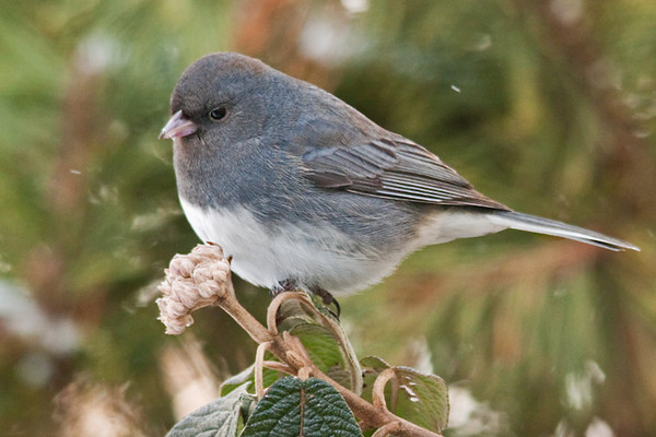 "<div class=""jaDesc""> <h4> Junco on Viburnum Branch - January 20 2012 </h4> <p> This male Junco was posing nicely for me on our viburnum bush in front of our house.  He is one of over 50 we have had for the winter.</p> </div>"