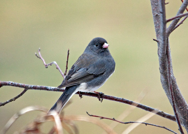 """<div class=""""jaDesc""""> <h4>Junco in Crabapple Tree - March 12, 2010 - Video Attached </h4> <p>  With the warm weather arriving, the Dark-eyed Juncos have gone into courtship mode.  The males are zooming after the females at high speed all over the yard.  This one was taking a break from the chase.</p> </div> </br> <center> <a href=""""http://www.youtube.com/watch?v=zp9-NRUCURk"""" class=""""lightbox""""><img src=""""http://d577165.u292.s-gohost.net/images/stories/video_thumb.jpg"""" alt=""""""""/></a> </center>"""