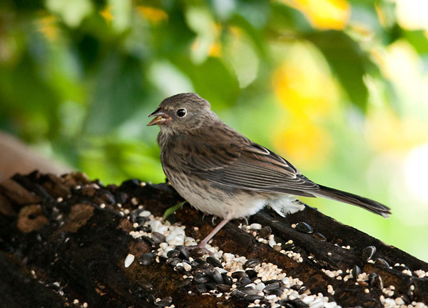 """<div class=""""jaDesc""""> <h4> Juvenile Junco Eating on His Own - August 11 2011 </h4> <p>We have had lots of juvenile birds at our feeders the past few weeks. The Juncos are on their second round of chicks. This juvenile Junco has learned to eat on his own. Notice the spotted breast which will become solid white as he matures.</p> </div>"""