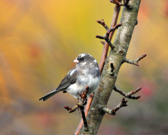 """<div class=""""jaDesc""""> <h4> Leucistic Female Junco - November 2, 2010 - Video Attached </h4> <p> At first I thought this was a new species, but then I realized it was a leucistic female Junco with white head spots and extra white on her sides. She really stands out when she is ground feeding with the other Juncos.</p> </div> <center> <a href=""""http://www.youtube.com/watch?v=SFOLb74Y7mU"""" style=""""color: #0AC216"""" class=""""lightbox""""><strong> Play Video</strong></a> </center>"""