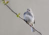 """<div class=""""jaDesc""""> <h4>Female Junco on Budding Cherry Branch - April 28, 2016</h4> <p>She was fluffed to stay warm on a chilly spring morning.</p> </div>"""