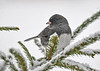 "<div class=""jaDesc""> <h4>Male Junco on Norway Spruce Branch - December 9, 2016</h4> <p>A dark gray male Junco in the over-the-shoulder pose.</p> </div>"