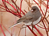 "<div class=""jaDesc""> <h4> Junco in Red-twig Dogwood - January 8 2012 </h4> <p>The red-twig dogwood bush in front of our house is a favorite stop for the Juncos as they approach the feeder area. They frequently hide in the dense twigs when the Hawk is around. Last time I counted, we had 54 Juncos in the yard, mostly ground feeding.</p> </div>"