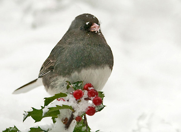 "<div class=""jaDesc""> <h4> Junco on Holly Sprig - January 13 2012 </h4> <p>I am having fun photographing the birds in the snow. The Juncos are using the holly bushes as perches more than usual.</p> </div>"
