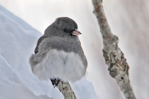 """<div class=""""jaDesc""""> <h4> Junco - Brrrrr - January 3, 2014 </h4> <p> This Junco was perched on top of a broken branch in frigid blowing snow.  His fluffed feathers were keeping his body warm, but he kept shifting his balance from one claw to the other. </p> </div>"""