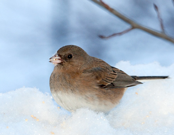 "<div class=""jaDesc""> <h4> Female Junco in Fresh Snow - January 31 2011 </h4> <p>This female Dark-eyed Junco was eating the white millet seed that I scattered on the fresh snow that fell last night.</p> </div>"