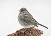 "<div class=""jaDesc""> <h4>Junco on Dried Flower Head - January 18, 2018</h4> <p></p></div>"