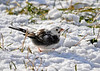 "<div class=""jaDesc""> <h4> Lily in Snow - January 8 2015</h4> <p>It looks like Lily is going to stay the winter as I had hoped.  She does not stand out as much in the snow.  All of the other Juncos are still getting along with her. </p> </div>"