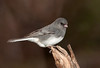 "<div class=""jaDesc""> <h4> Juncos Migrating Through - April 15 2011 </h4> <p>We have 60+ Dark-eyed Juncos around all day long. Many will continue on north, but we usually have about 6 pairs stick around and nest in our spruce tree grove.</p> </div>"