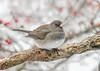 "<div class=""jaDesc""> <h4>Junco  on Perch in Snow - January 18, 2018</h4> <p>Some white millet debris on beak.</p></div>"