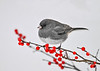 "<div class=""jaDesc""> <h4>Junco on Winterberry Branch - December 9, 2016</h4> <p>A medium gray Junco.</p> </div>"