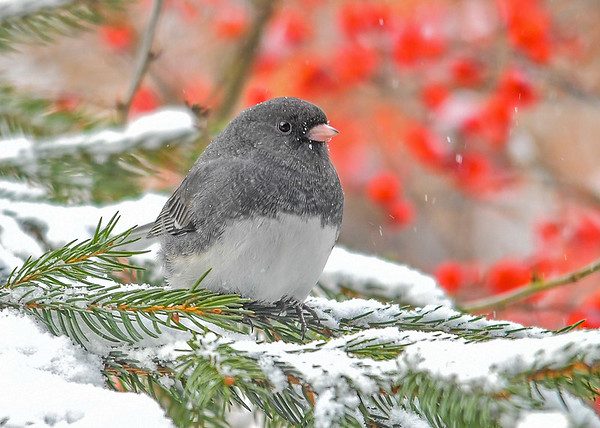 """<div class=""""jaDesc""""> <h4>Junco on Snowy Evergreens - December 28, 2017</h4> <p>We are now up to 80+ Juncos with the colder weather moving in. I am now feeding twice a day to help keep them warm.</p> </div>"""
