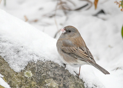 Junco - Snow on Beak - January 18, 2018 Pecking for seeds in the snow.