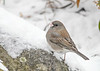 "<div class=""jaDesc""> <h4>Junco - Snow on Beak - January 18, 2018</h4> <p>Pecking for seeds in the snow.</p></div>"