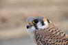 "<div class=""jaDesc""> <h4> Female Kestrel Close-up #2 - March 23, 2014 </h4> <p></p> </div>"