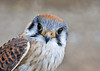 "<div class=""jaDesc""> <h4> Female Kestrel Close-up #4 - March 23, 2014 </h4> <p></p> </div>"
