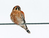 "<div class=""jaDesc""> <h4> Male Kestrel in Afternoon Sun - February 8, 2012 </h4> <p> During the 3 days I drove around Amherst Island, my birding partner and I saw 6 Kestrels.  This male was basking in the afternoon sun on a wire right over the middle of the road.  I approached him with my truck window down to not spook him, moving 25 feet closer with each stop.  The sun was really highlighting his beautiful colors.  While I have seen many Kestrels, this is my first keeper photo.</p> </div>"