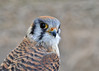 "<div class=""jaDesc""> <h4> Female Kestrel Close-up #3 - March 23, 2014 </h4> <p></p> </div>"