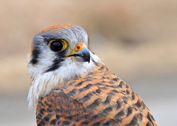 "<div class=""jaDesc""> <h4> Female Kestrel Close-up #1 - March 23, 2014 </h4> <p>Drove around the rural areas of Tioga County, NY this morning.  The Kestrels are returning. </p> </div>"