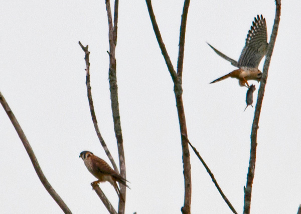 "<div class=""jaDesc""> <h4>American Kestrel Pair - May 18, 2013 </h4> <p> I could just barely make out this Kestrel pair in the distance.  I took a few shots just to document the observation.  When I got home and edited them, I realized that the female was flying off with her meal while the male continued to look for his.</p> </div>"