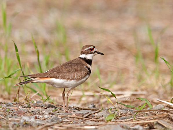 "<div class=""jaDesc""> <h4> Killdeer at Wetland Preserve - May 21, 2011 </h4> <p> As I was pulling into the parking area at the Goethius Wetland Preserve near Slaterville Springs, NY, I noticed 2 killdeer scurrying around on the gravel.  The male hopped up on the middle of the female's back, apparently a pre-mating maneuver.  I guess my presence spoiled the mood.  He quickly hopped back onto the ground and they both flew off toward the water area.</p> </div>"