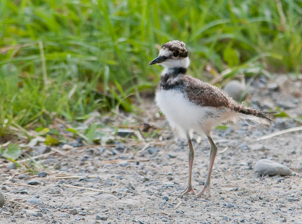 """<div class=""""jaDesc""""> <h4> Juvenile Killdeer #1 on Farm Road - June 21, 2012 </h4> <p> This juvenile Killdeer was still looking pretty fluffy. My guess is she was about 2 weeks old. She and her 2 siblings were scurrying along in front of my truck on a dirt farm road. She would turn around periodically to look at me.</p> </div>"""